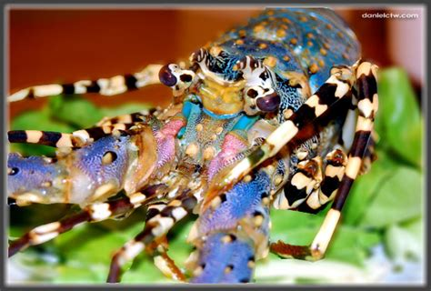 colorful lobster daniel loster bilder news infos aus dem web