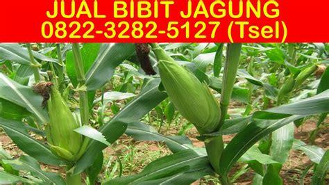 Bibit Jagung Manis Di Surabaya harga jual harga benih jagung dk77 jagung hibrida dk 77