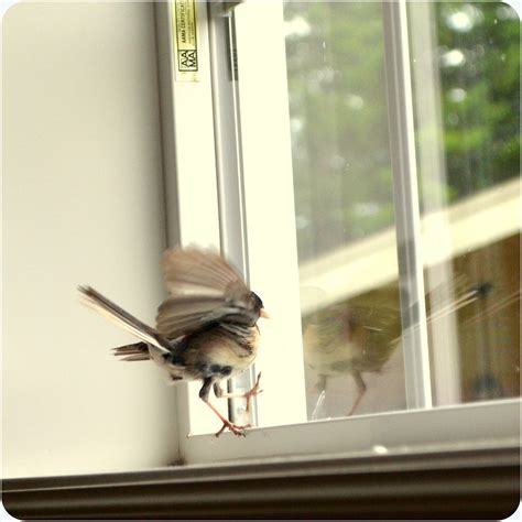 top 28 bird keeps trying to get in window the bird is