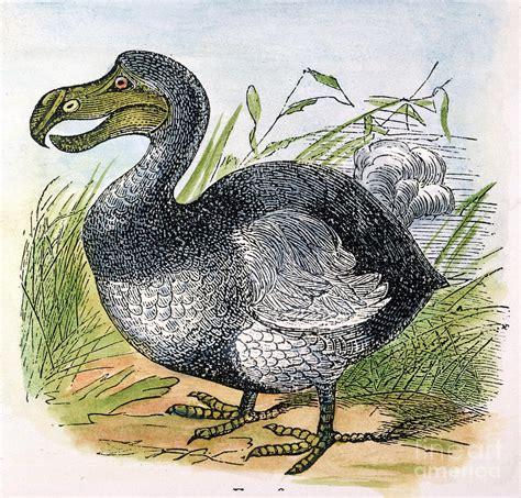 the dodo the mauritius dodo photograph by granger