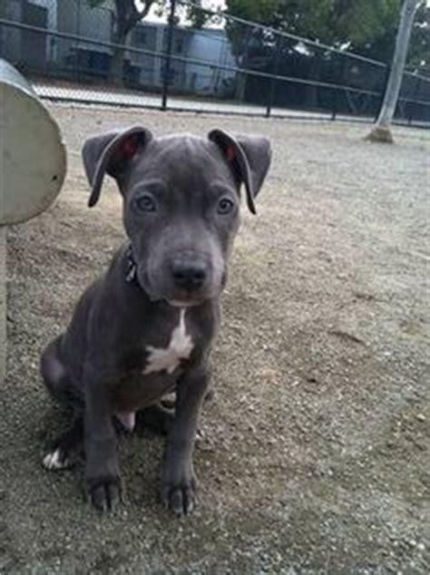 2 month pitbull puppy pitbulls on pitbull blue nose pitbull and blue nose pitbull puppies