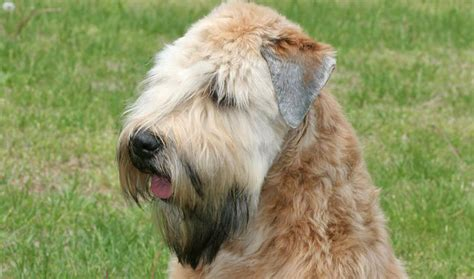 wheaten puppy soft coated wheaten terrier breed information