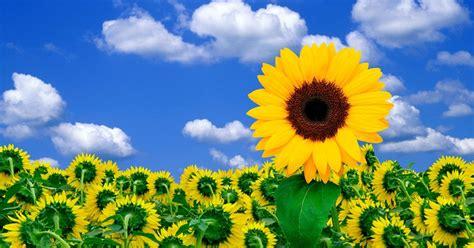 imagenes de flores de girasol imagenes de flores girasoles