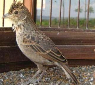 Pakan Branjangan Jawa budidaya burung burung branjangan si kecil yang pandai
