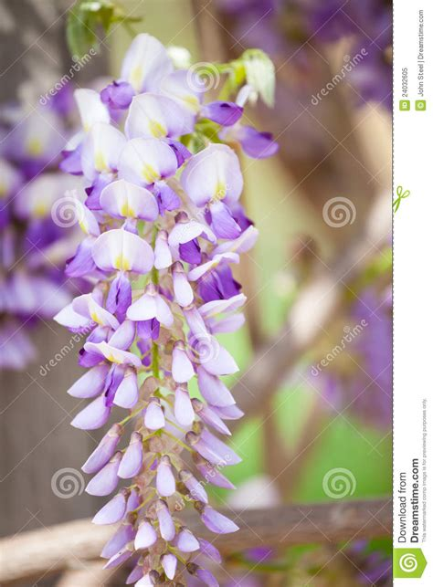 copy right free pictures of purple wisteria hanging wisteria royalty free stock photo image 24032605