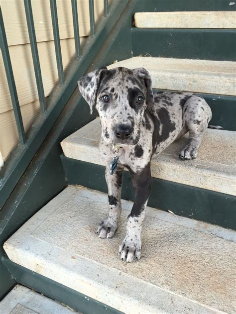 blue merle great dane puppies 25 best ideas about merle great danes on blue merle great dane great