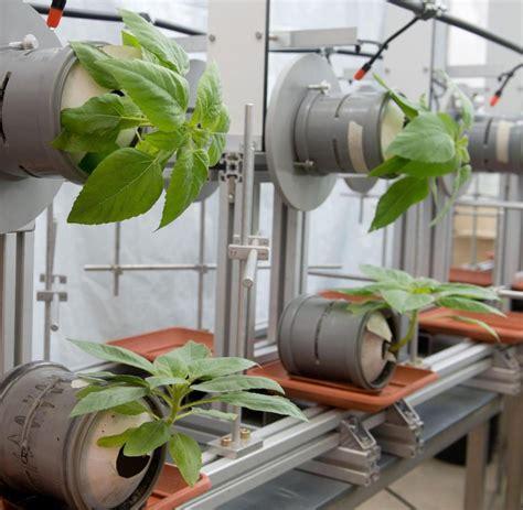 pflanzen an der wand biophysik forscher lassen pflanzen der wand wachsen