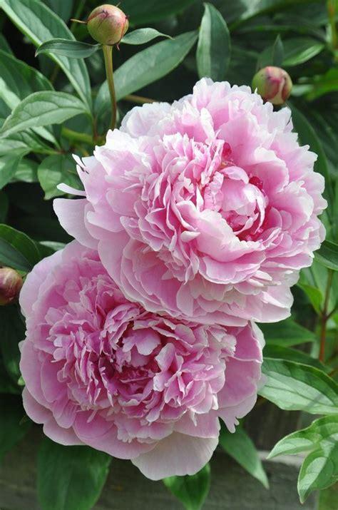 pink peonies nursery 1000 ideas about peonies garden on pinterest peonies