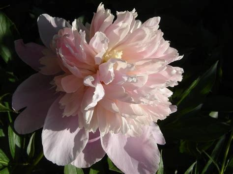 peonies how to plant grow and care for peony flowers
