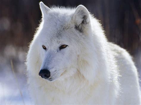 imagenes de jaguar blanco jigsaw puzzle beautiful white wolf
