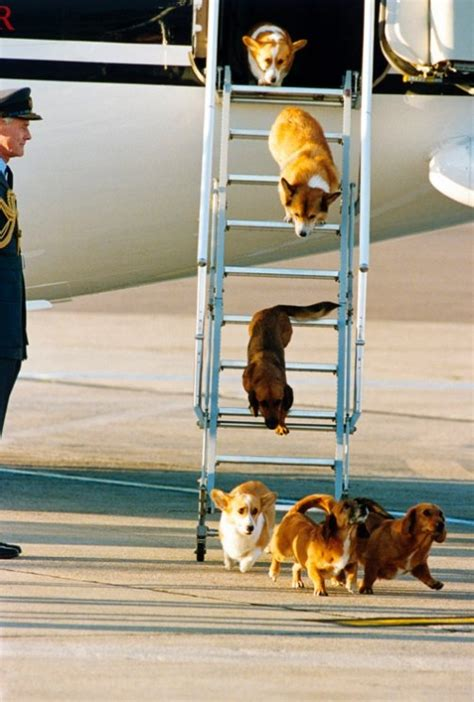 the queens corgis the queen s corgis the imaginarator