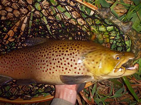 mouse pattern brown trout of mice and men adrift fishing culture life