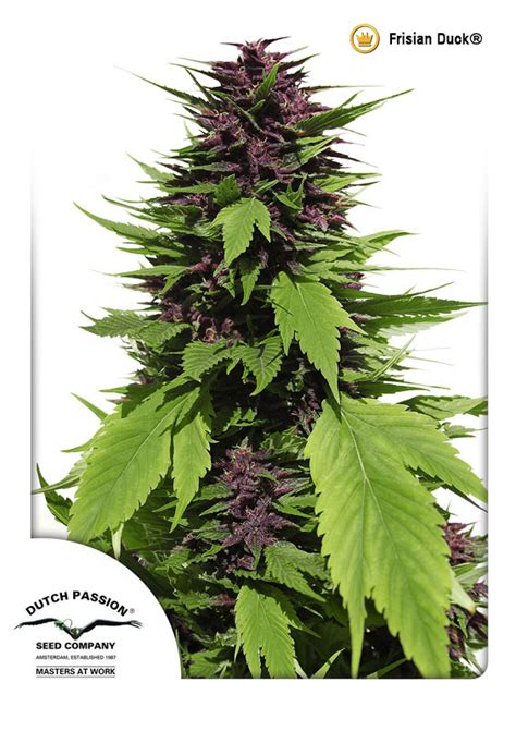 duch pasion frisian duck feminized cannabis seeds buy safely from
