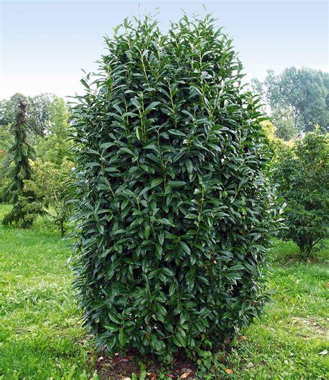 Kirschlorbeer Hecke Welche Sorte 2400 by S 228 Ulen Kirschlorbeer Genolia 1a Pflanzen Kaufen Baldur Garten