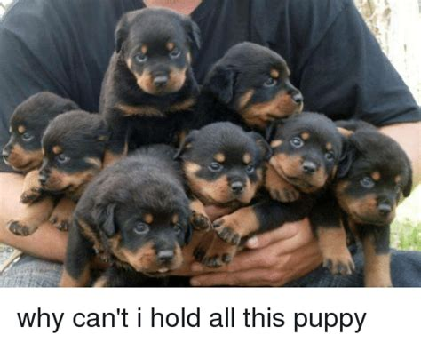 how can puppy hold 25 best memes about why cant i hold why cant i hold memes