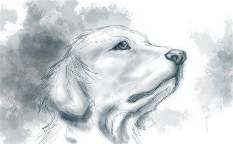 golden retriever sketch golden retriever bw sketch by joshmackey on deviantart