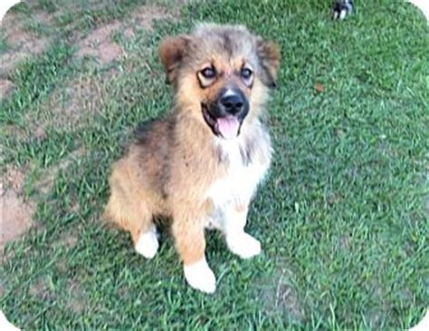 german shepherd great pyrenees mix puppies german shepherd doggreat pyrenees mix puppy for adoption in waller breeds picture
