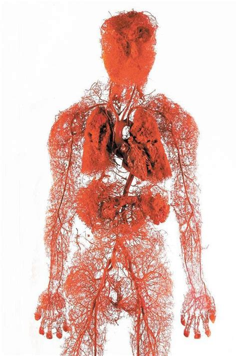 section 37 1 the circulatory system explore the 4 types of blood vessels in your body human