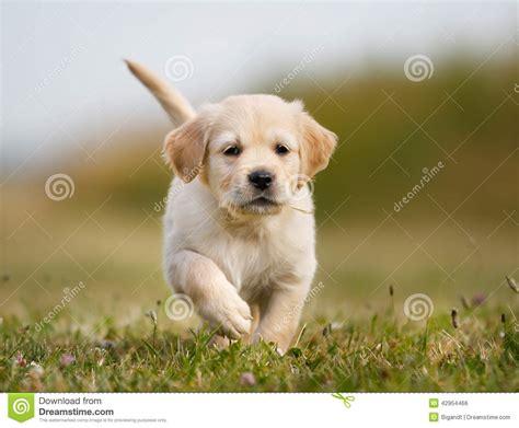 13 week golden retriever puppy golden retriever puppy running towards stock photo image 42954466