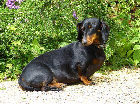 black dachshund puppies free photo dachshund black brown fur free image on pixabay 123504