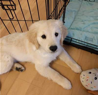 comfort retrievers for adoption is there really such a thing as a miniature golden retriever