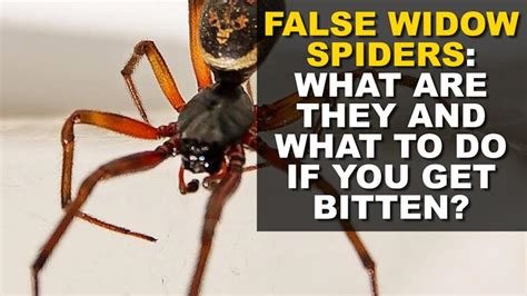 could spider venom be the next viagra daily mail online how to keep spiders out of your home as notorious false