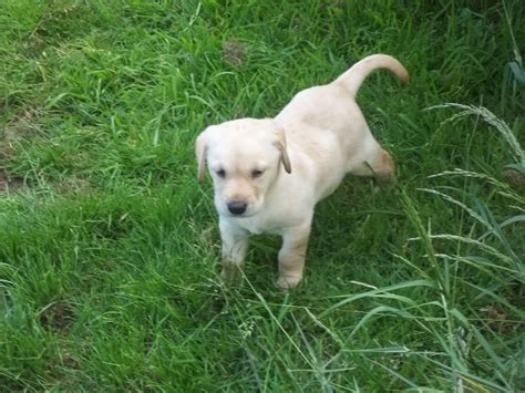 golden retriever puppies for sale cornwall golden labrador puppies only 2 left boys launceston cornwall pets4homes