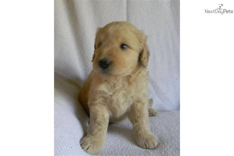 mini doodle florida goldendoodle puppy for sale near orlando florida