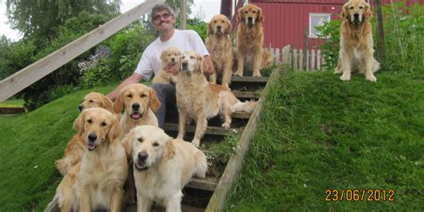 golden retriever kennel club golden retriever kennel vasternorrland photo