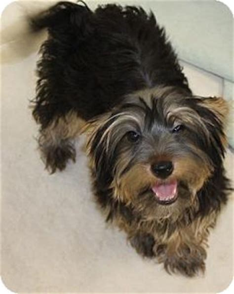 bichon yorkie rescue cree adopted puppy house springs mo yorkie terrier bichon frise mix