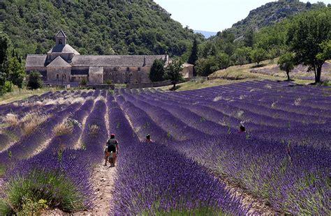 Lavendelfelder Provence by Abtei Senanque Inmitten Toller Lavendelfelder Provence