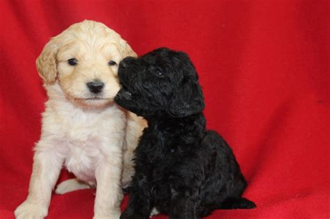 mini goldendoodle kijiji day 28 mini goldendoodles with tips and