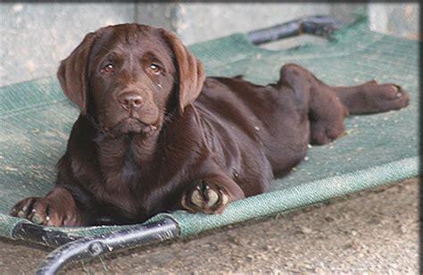 puppies for sale san luis obispo labradors california lab puppies breeder kenya labradors