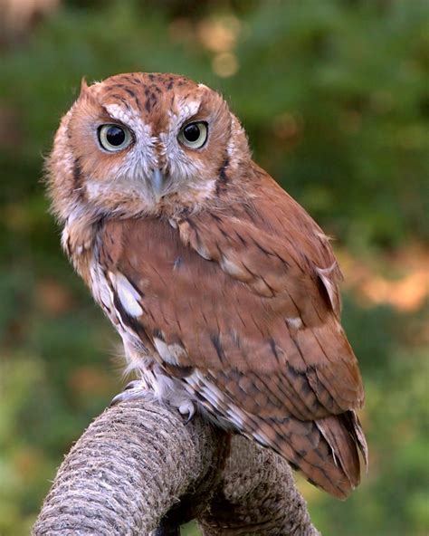 foothill screech owl