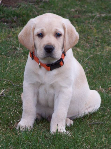 white lab puppies yellow labrador retriever