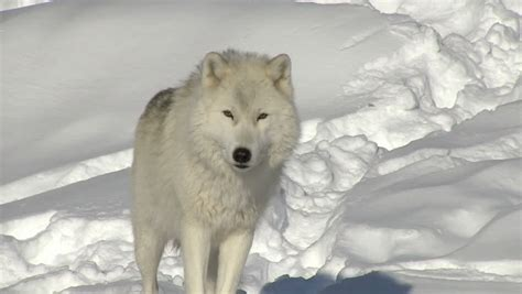 hd trailcam pictures of wolves in winter arctic wolf alpha standing up and looking at the closeup stock footage 3223006