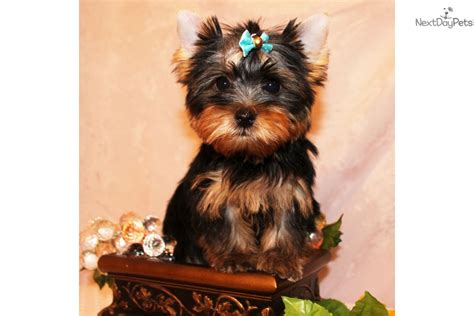 yorkies for sale near me terrier yorkie puppy for sale near los angeles california 46ba0d0b 7cd1