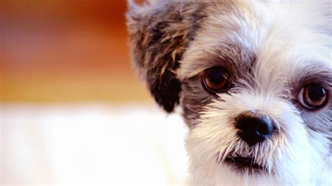 most popular dogs in america the most popular breeds in america abc30