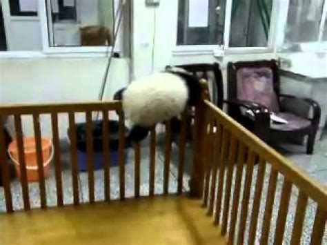 Baby Panda Climbing Out Of Crib by Baby Panda S Climb Out Of Crib