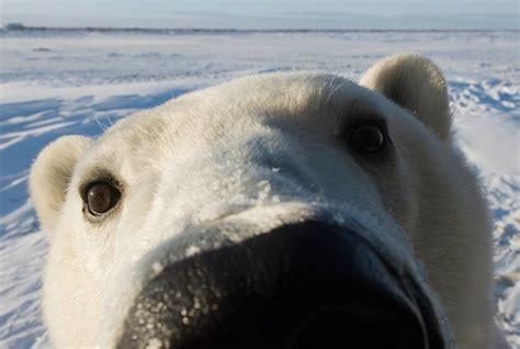the polar bear polar bear facts conservation polar bears international