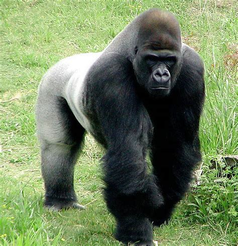 silver  gorilla facts images   wildlife