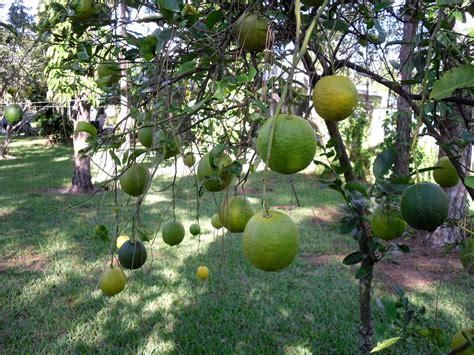 florida fruit trees jupiter real estate and lifestyle state ordered to pay