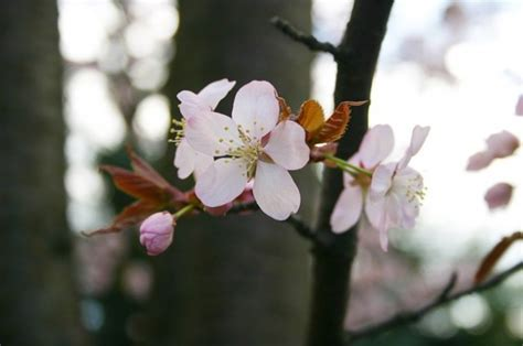 6310 cherry tree tree japan bloom photo free
