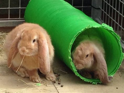 Paperline Lop Putih No 104 gorgeous purebred lop babies rye east sussex pets4homes