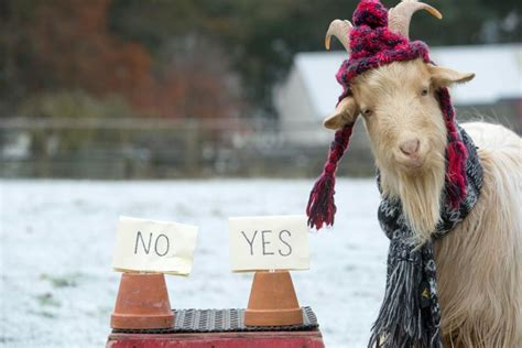 new year goat predictions it s happy new year from boots the fortune telling goat