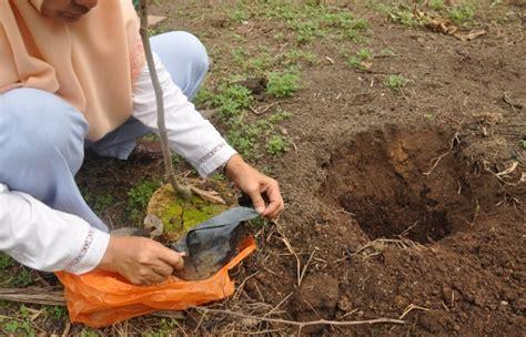 Bibit Biji Rambutan cara menanam rambutan dari biji bibitbunga