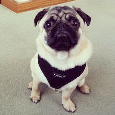 pug harness puppia 1000 images about must puppia harness on harness products and