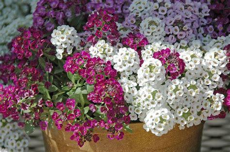 fiore alisso alisso alyssum maritima piante annuali il fiore dell