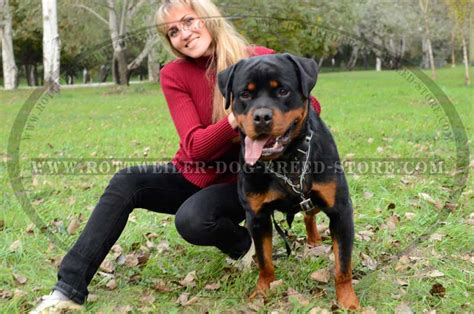 how to get my rottweiler bigger exquisite barbed wire painted leather harness for your rottweiler h1bw 1018 barbed