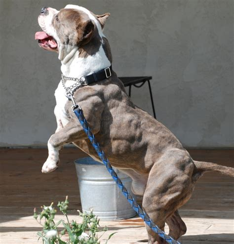 cool pit 25 cool pitbull pictures